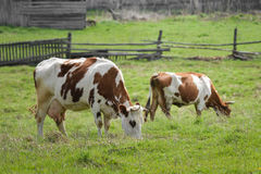 Коровы пася на зеленом луге на весне, сельской деревянной загородке на предпосылке Стоковая Фотография RF