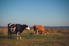 Коровы пася на зеленом луге на солнечном дне Стоковое фото RF