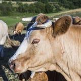 Коровы пася на зеленом луге с мухами на глазе Стоковое Изображение