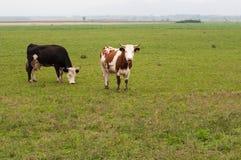 2 коровы пася на зеленом луге Стоковое Фото