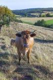 Коровы пася на зеленом луге Стоковая Фотография RF