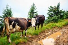 Коровы пася на зеленом холме прикарпатских гор, Украине Стоковая Фотография