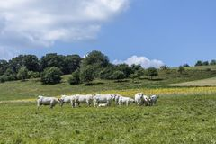 Коровы пася на луге в сельском ландшафте Стоковые Фото
