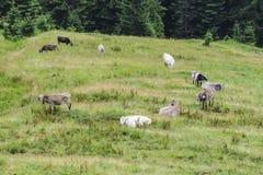 Коровы пася на луге в tyrolean Альпах Стоковое Изображение RF