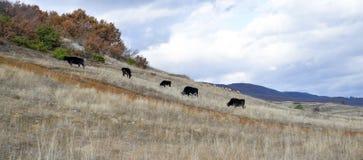 Коровы пася на луге зимы Стоковая Фотография