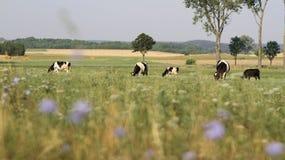 Коровы пася на луге, лете Стоковая Фотография
