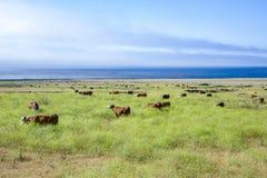 Коровы пася на луге Стоковые Изображения