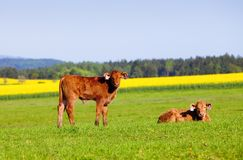 Коровы пася на поле травы Стоковые Фото