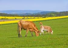 Коровы пася на поле травы Стоковая Фотография RF
