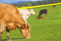 Коровы пася на поле травы Стоковое Изображение