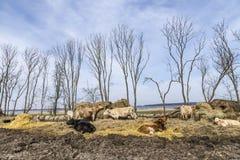Коровы пася на поле Стоковое Изображение