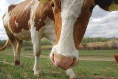 Коровы пася на поле в деревне Стоковые Изображения RF