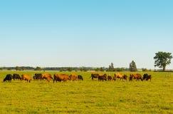 Коровы пася на поле Стоковая Фотография