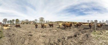 Коровы пася на поле Стоковая Фотография RF
