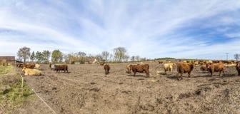 Коровы пася на поле Стоковое фото RF