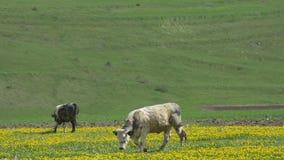 Коровы пася на полях весны сток-видео