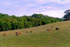 Коровы пася на склоне холма в весеннем времени Стоковое Фото
