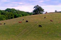 Коровы пася на склоне холма в весеннем времени Стоковые Изображения