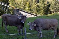 Коровы пася на траве в лугах швейцарских Альпов Стоковое фото RF