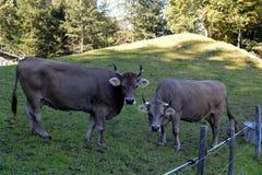 Коровы пася на траве в лугах швейцарских Альпов Стоковая Фотография