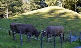 Коровы пася на траве в лугах швейцарских Альпов Стоковые Изображения RF