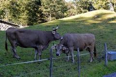 Коровы пася на траве в лугах швейцарских Альпов Стоковое Изображение RF