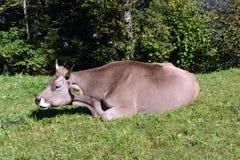 Коровы пася на траве в лугах швейцарских Альпов Стоковые Фотографии RF