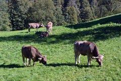 Коровы пася на траве в лугах швейцарских Альпов Стоковые Изображения