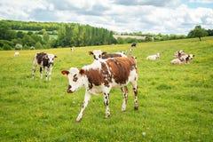 Коровы пася на травянистом зеленом поле в Perche, Франции Ландшафт и выгон сельской местности лета для коров Стоковые Фотографии RF