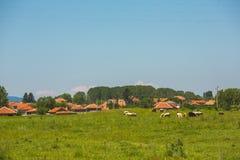 Коровы пася на луге в болгарской деревне Стоковые Фото