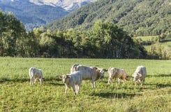 Коровы пася на луге в Alpes Стоковые Фото