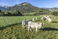 Коровы пася на луге в Alpes Стоковые Фотографии RF