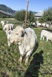 Коровы пася на луге в Alpes Стоковое Изображение
