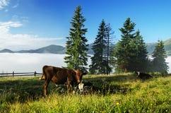 Коровы пася на луге горы Стоковое Фото