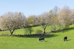 Коровы пася на луге на весне Стоковое Изображение RF
