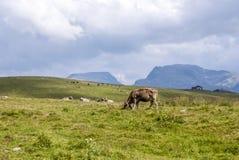 Коровы пася на луге на Rolle проходят Стоковые Изображения