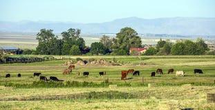 Коровы пася на луге с травой Стоковое фото RF