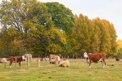 Коровы пася на луге Стоковые Фото