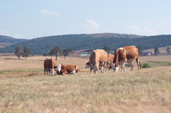 Коровы пася на луге Стоковое Изображение RF