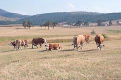 Коровы пася на луге Стоковые Фотографии RF