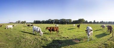 Коровы пася на луге Стоковая Фотография RF
