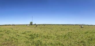 Коровы пася на лужке Стоковое Фото
