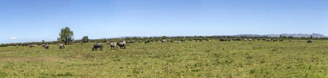 Коровы пася на лужке Стоковая Фотография