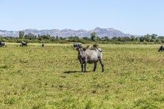 Коровы пася на лужке Стоковые Изображения RF