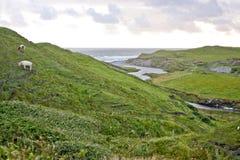 Коровы пася на холме в западной Ирландии Стоковые Изображения RF