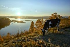 Коровы пася на холме Стоковые Изображения RF