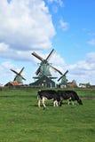 Коровы пася не далеко от ветрянок Стоковая Фотография RF