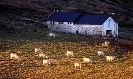 Коровы пася около амбара Стоковое Изображение