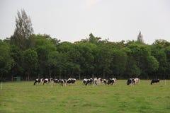 Коровы пася траву на луге Стоковое Изображение