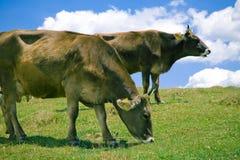 коровы пася холм Стоковое фото RF